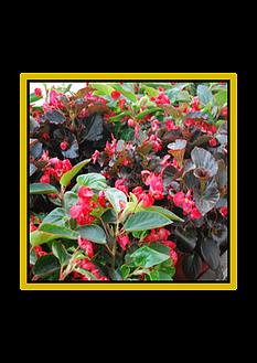 Begonia - Eté